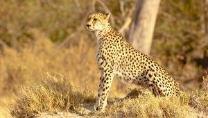 Serengeti'nin Hız Kraliçesi National Geographic WILD Ekranlarında