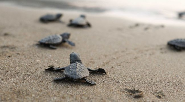 Deniz kaplumbağaları deniz ekosistemi için hayati önemde